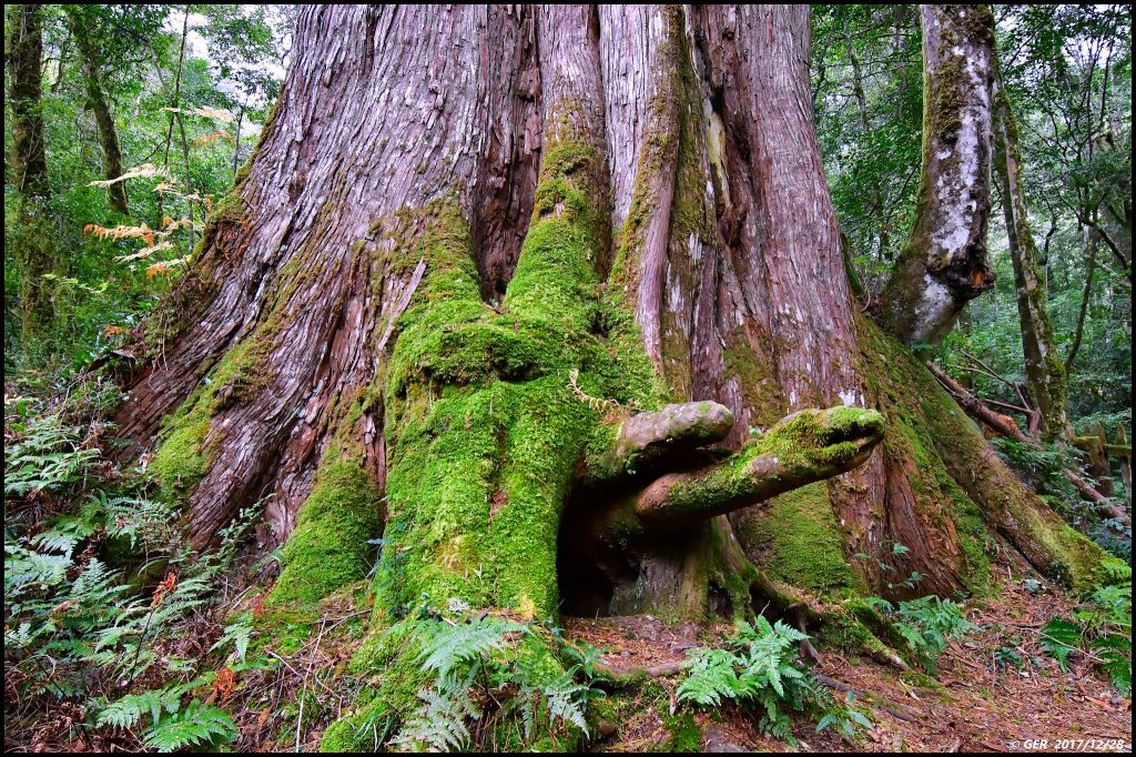 千年的對話~鎮西堡巨木森林 B區_234549