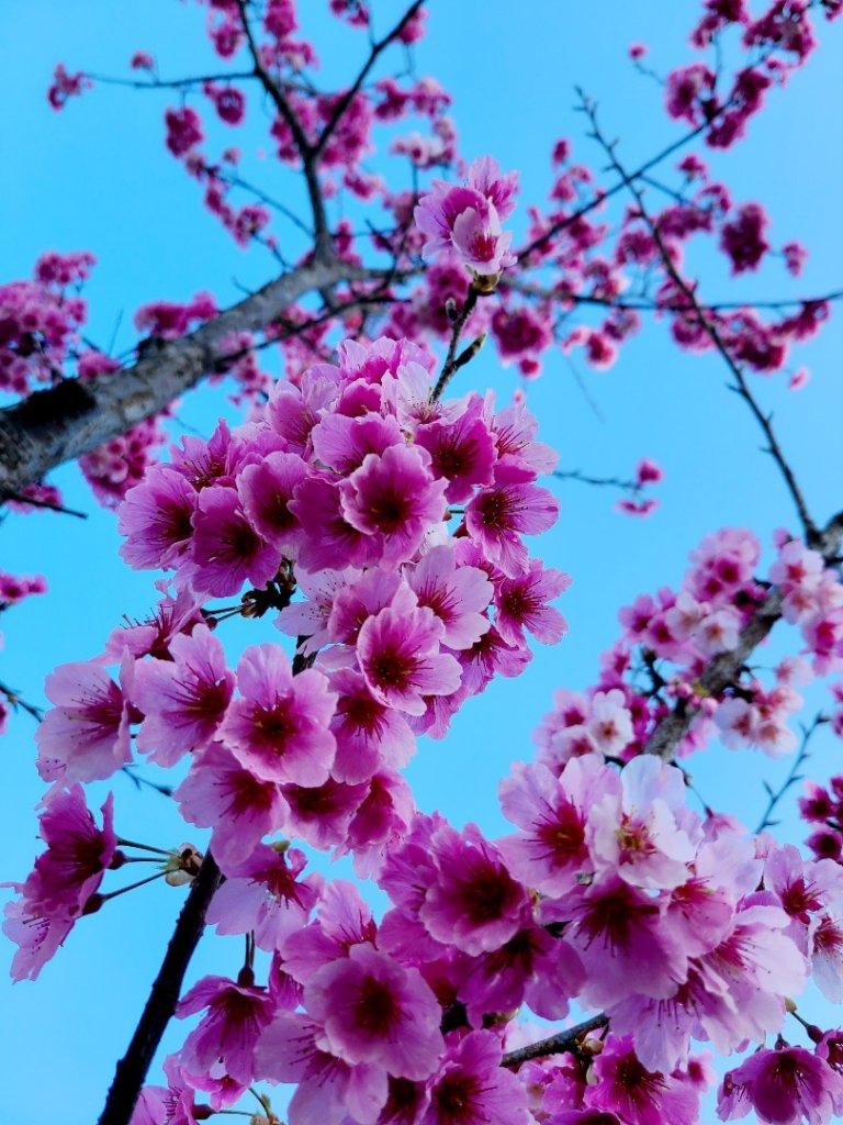 遇上櫻花季的直潭山_1252753