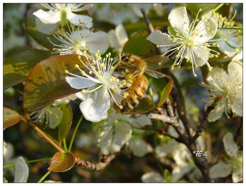 扁櫻桃的花開_835821