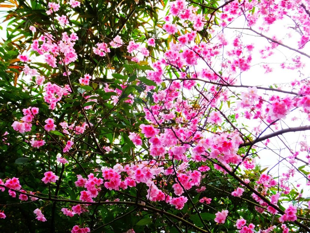 櫻花滿開貓空茶香環狀步道_254053
