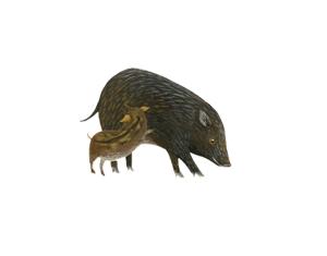 【森林之寶】十字路來吉古道-臺灣野豬