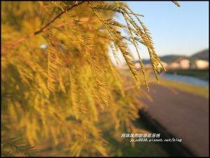 安農溪畔落羽松