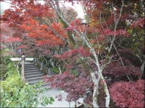【宜蘭】太平山中央階梯紫葉槭