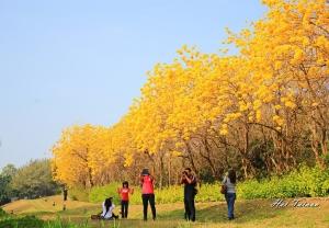 【開花筆記】黃金風鈴炫麗大盛開~讓人彷彿置身國外場景的美!!