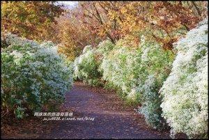 沐心泉冬季限定白雪木與黃金楓的浪漫相遇