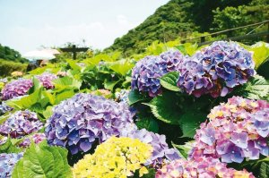 【新聞】來一趟陽明山拍好拍滿!海芋X繡球花 雙花齊開