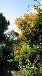 頂石棹步道(霧,霞,櫻,茶,雲)