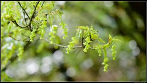 瑪礁古道-竹篙山的大屯尖葉槭