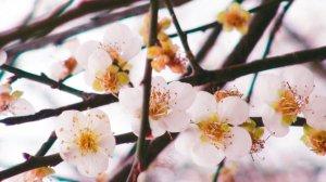 【新聞】梅山公園 梅花終於開了