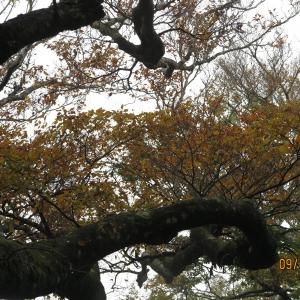 尖石內鳥嘴山山毛櫸20141109
