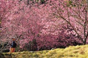 【台中】粉色桃山順訪七卡咖啡廳+大同鄉河濱公園