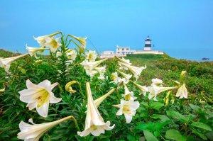 【新聞】北海岸最美的迎賓員-台灣野百合,雪白登場 一起聆聽「白色號角」吹響春季之聲