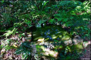 大溪。白石山 訪 艷紅鹿子百合