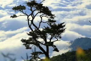 大武地壘---鐵杉-雲海-月色-變色葉