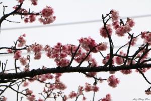 20160120~平等里~櫻花