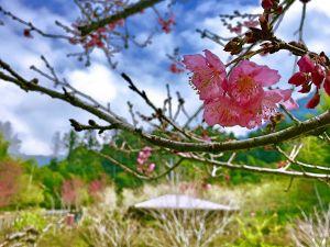 櫻花嬌 竹林靜 溪水潺潺 悠遊阿里山迷糊步道福山古道
