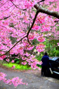 櫻木花道追櫻之旅