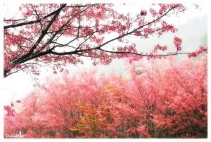 【美哉台灣】武陵-櫻花雨