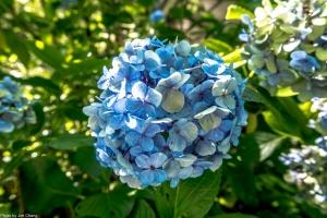 高山青農場繡球花