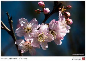 【台北北投】十八份水圳春櫻爛漫