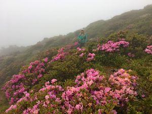 雲霧中賞合歡北峰杜鵑順訪台灣池