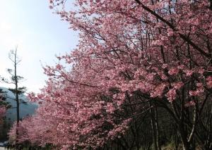【春夏之際】武陵賞櫻