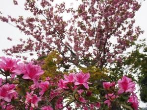 櫻花杜鵑在一起(雲台保線所)
