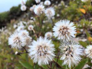 合歡山區的花草之美