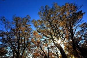 【美哉台灣】深秋情。山毛櫸