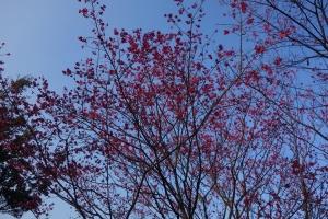 台北賞櫻祕境-櫻花山莊