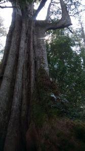 鎮西堡巨大神木探訪