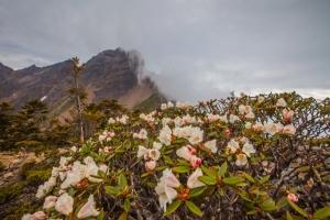 臺灣最高的杜鵑花 -玉山北峰,圓峰杜鵑花況