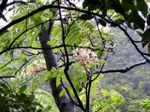 【新北市】猴硐神社 鐘萼木