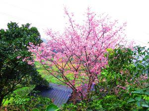 貓空 杏花林 滿園春色