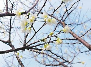 寒流拉長冬眠 櫻花睡到元宵才醒