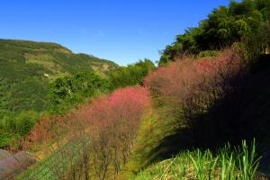 新竹五峰櫻梅秘境