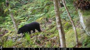 【新聞】瓦拉米、八通關熊出沒 玉管處籲遵守有熊國安全守則