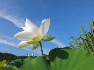 【新北市】彎穹荷花映藍天