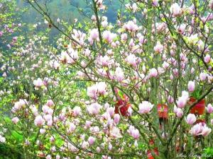 20150307~楓樹湖木蓮花~天元宮還沒開的櫻花