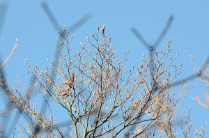 內鳥嘴金黃山毛櫸