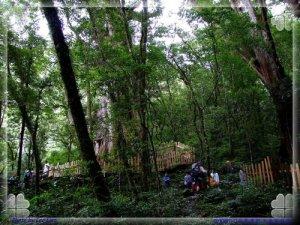 新竹縣尖石鄉:上帝部落-司馬庫斯訪巨木 & 泰崗採黃金桃