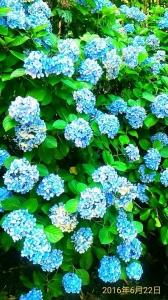 驚艷 繡球花