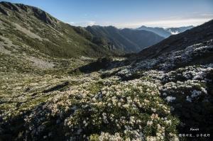 雪山圈谷杜鵑盛開