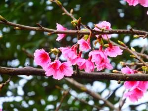 櫻花滿開貓空茶香環狀步道