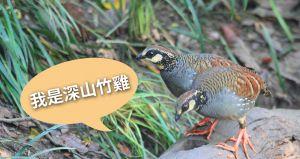 【保育】我是台灣山鷓鴣(深山竹雞)