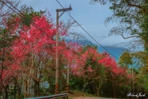向天湖山的櫻花