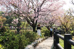 拜訪春天~三生步道櫻吹雪