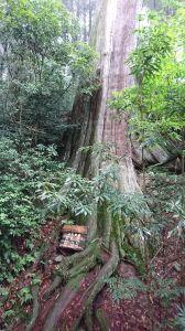 20180618 檜山巨木森林步道