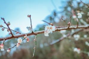 武陵農場-春の櫻