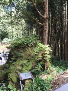 阿里山神木步道